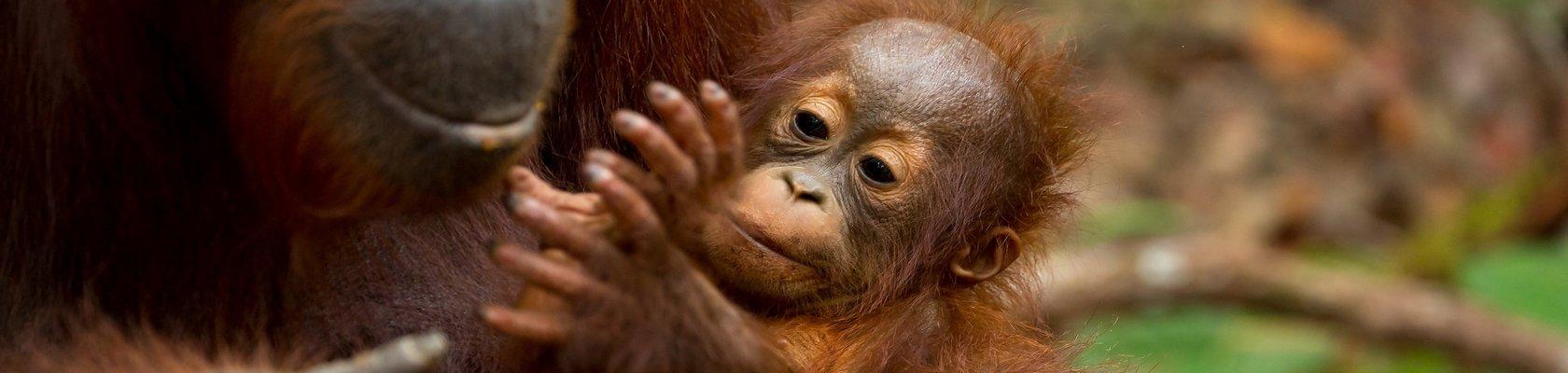 Orang Oetans, Sumatra