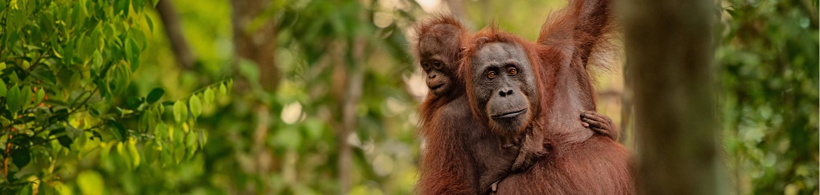 Orang-oetans op Borneo
